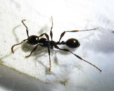 Aenictus ant worker