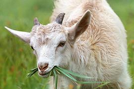 13 Cara Mudah Menghilangkan Bau Prengus Pada Daging Kambing