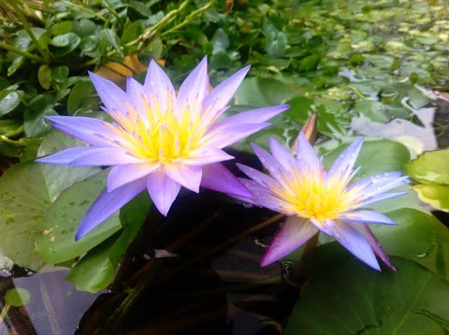 青い蓮の花の写真