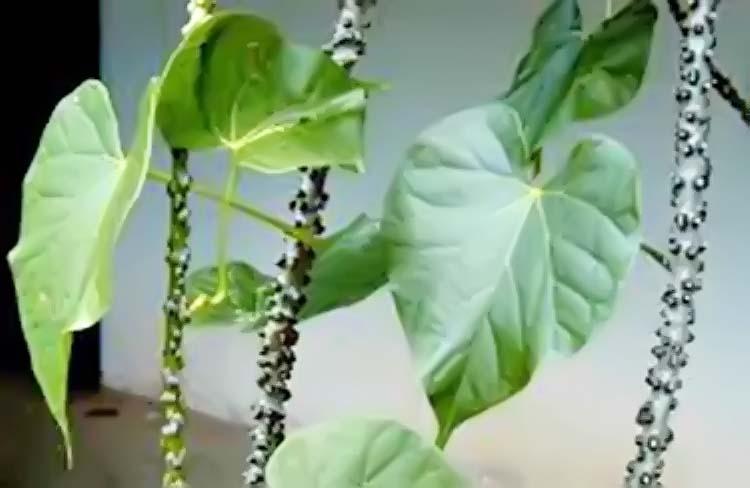 Brotowali Pahit Tapi Manjur Untuk Obat Herbal