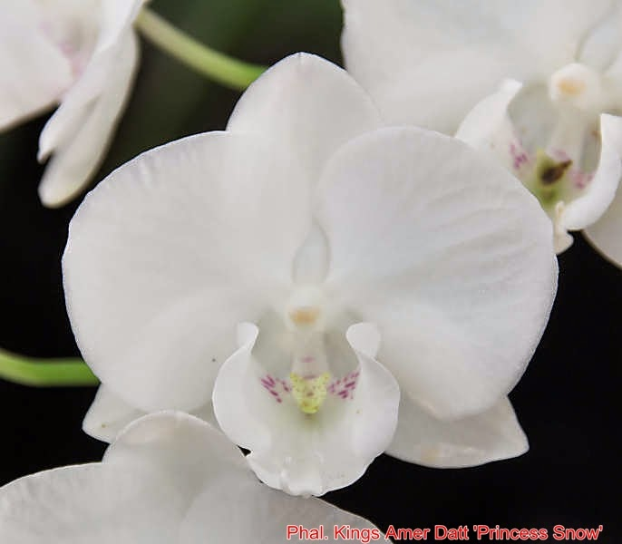 Phal. Kings Amer Datt 'Princess Snow'