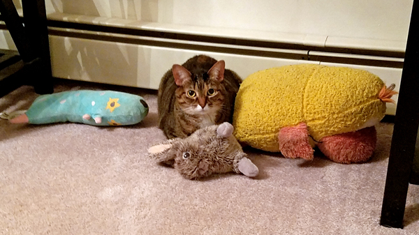 image of Sophie the Torbie Cat sitting in a pile of plushy toys