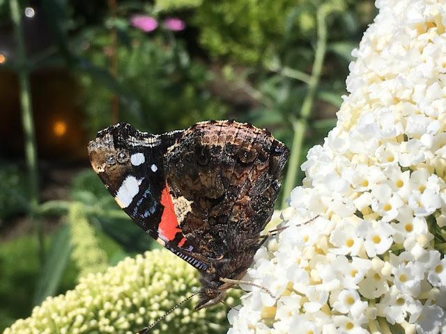 Lykken er å ha en sommerfuglbusk - sommerfuglen er vakker både utslått og med vingene i hvilemodus