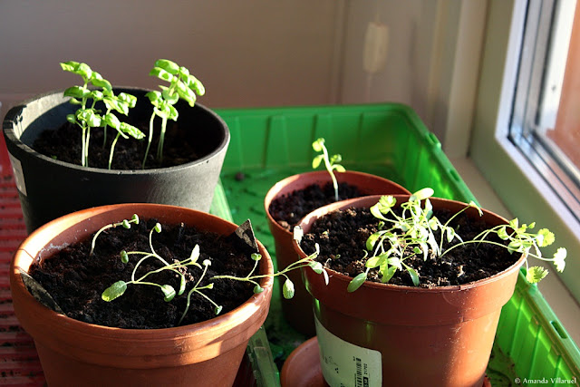 Seedlings and plants need lots of light to thrive