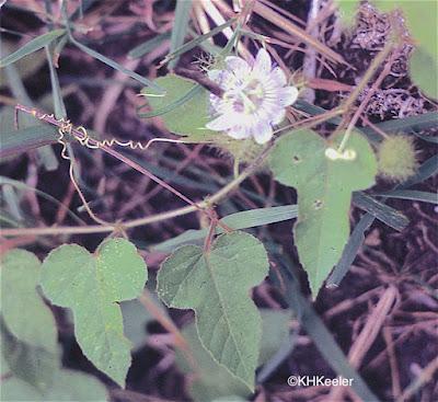 passion vine, Passiflora