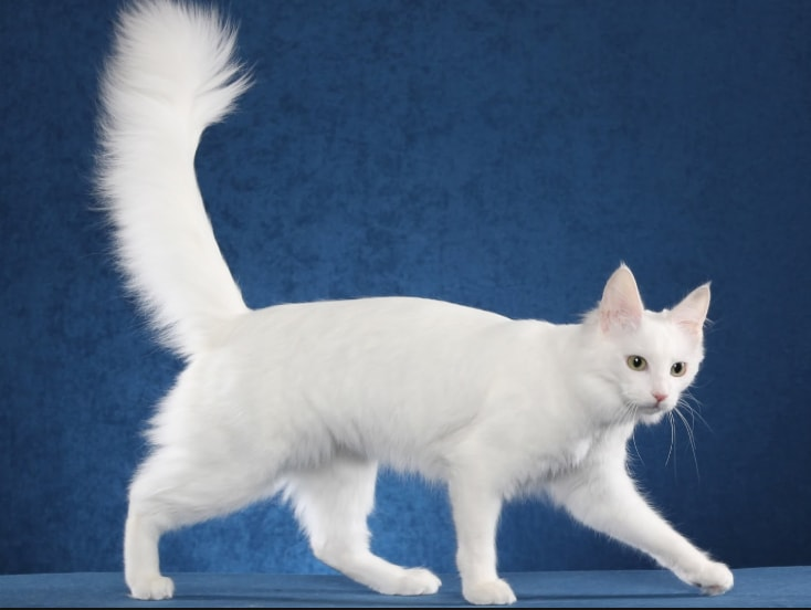 Download 80+  Gambar Kucing Anggora Dan Harganya Paling Lucu HD