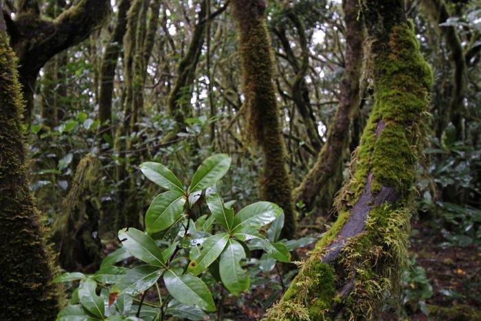 Lorbeer im El Cedro auf La Gomera