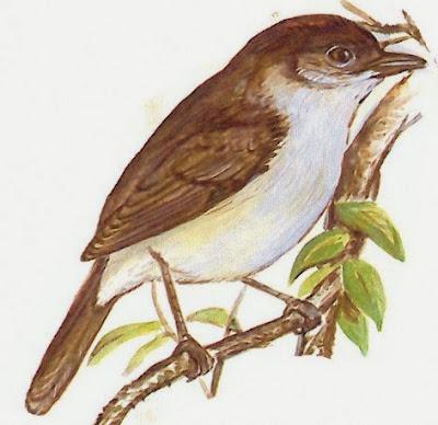 Barullero, Euscarthmus meloryphus