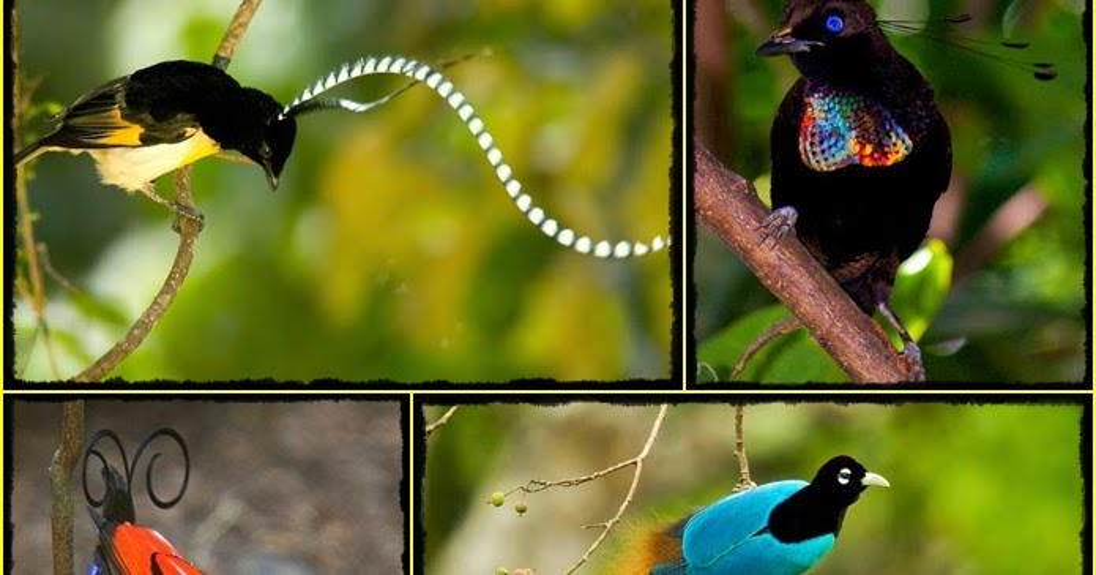 Tem Na Web - As belas e raras aves-do-paraíso