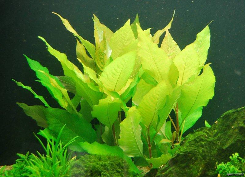 Cận cảnh cây đại liễu trong hồ thủy sinh