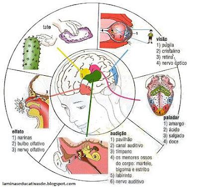 Ubicacion de los sentidos en el cerebro