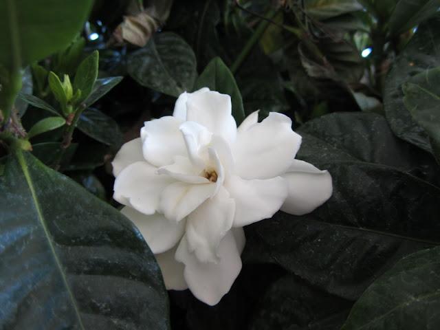 Fiore Gardenia jasminoides