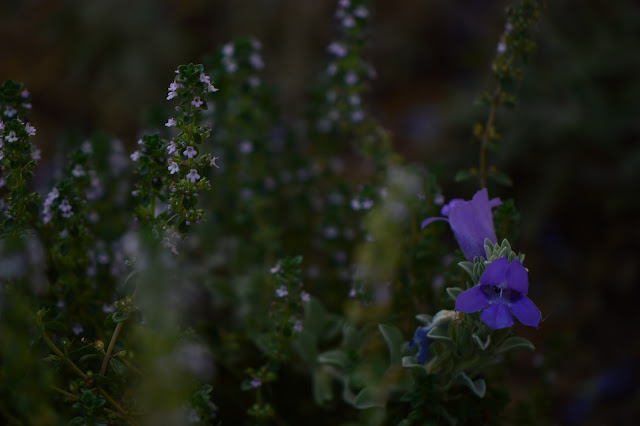 lemon thyme, eremophila hygrophana, small sunny garden, garden bloggers bloom day, amy myers, desert garden