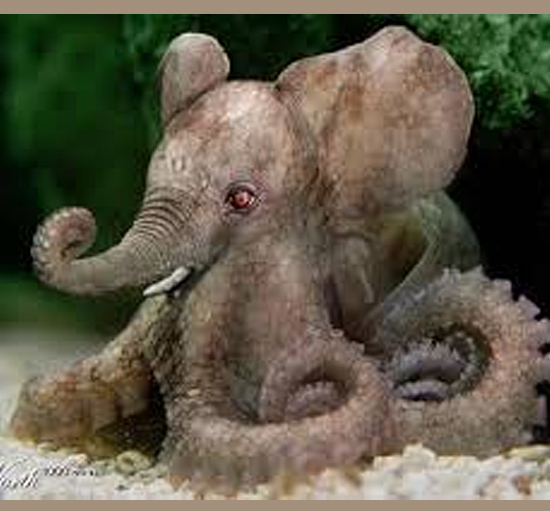 Imagens mais incrivelmente editadas - Polvo Elefante