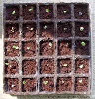 Burpee Seed Starting Kit with Sunflower Seedlings