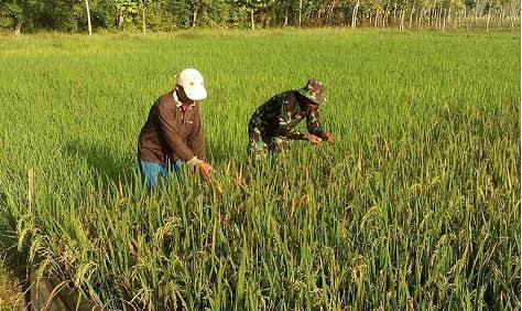 Serda Rinaldi Dampingi Petani Pengecekan Hama di Dusun Vl Desa Cempa