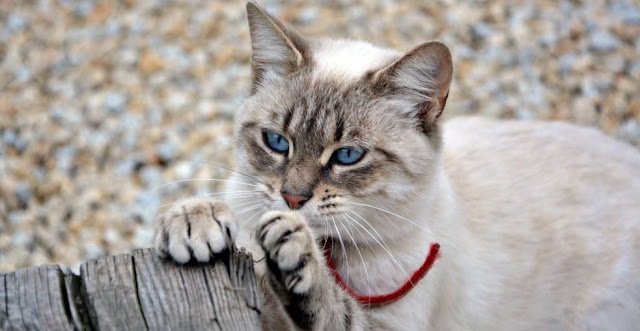 Cat Declawing Banned In California