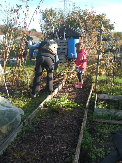 clearing away the decaying sunflowers at the allotment