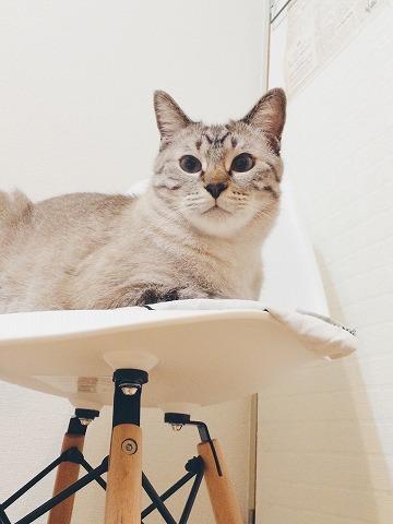 白い椅子の上で香箱を組んでるシャムトラ猫