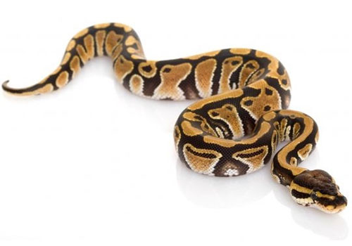 diferencia entre culebra víbora y serpiente