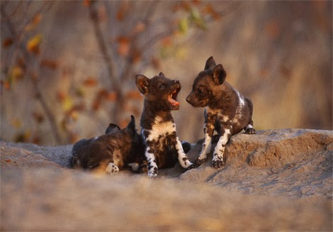 Cute Wombat Wallpapers Cute Funny Animalz Funny African Wild Dog 2013