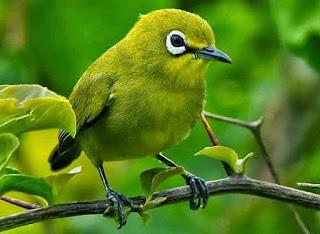 4 Ciri Ciri Burung Pleci Jantan Petarung Yang Bagus