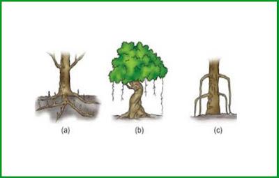 Mengenal Jenis-Jenis Akar Pada Tumbuhan ( Serabut Dan Tunggang )
