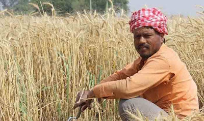 Customs Duty on Wheat Hiked