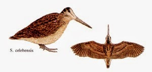 Sulawesi woodcock