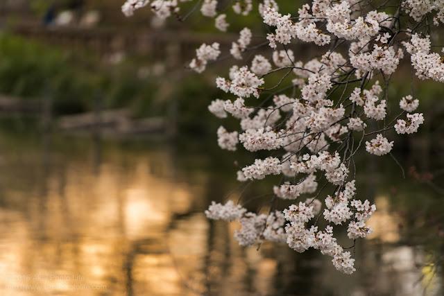 井の頭恩賜公園で撮影した桜の写真