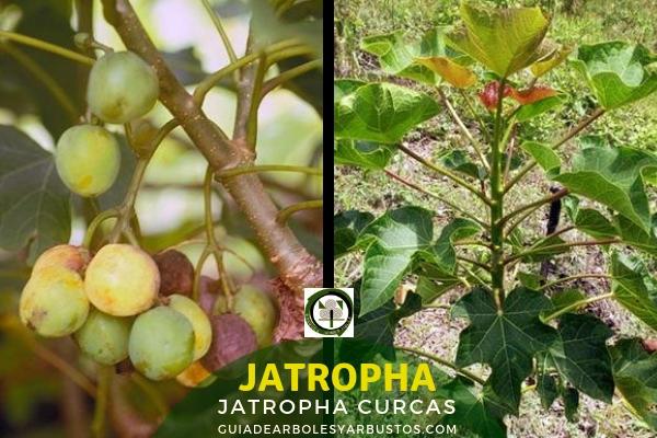 Jatropha planta perenne, resistente a la sequía, crece bien en suelos pobres