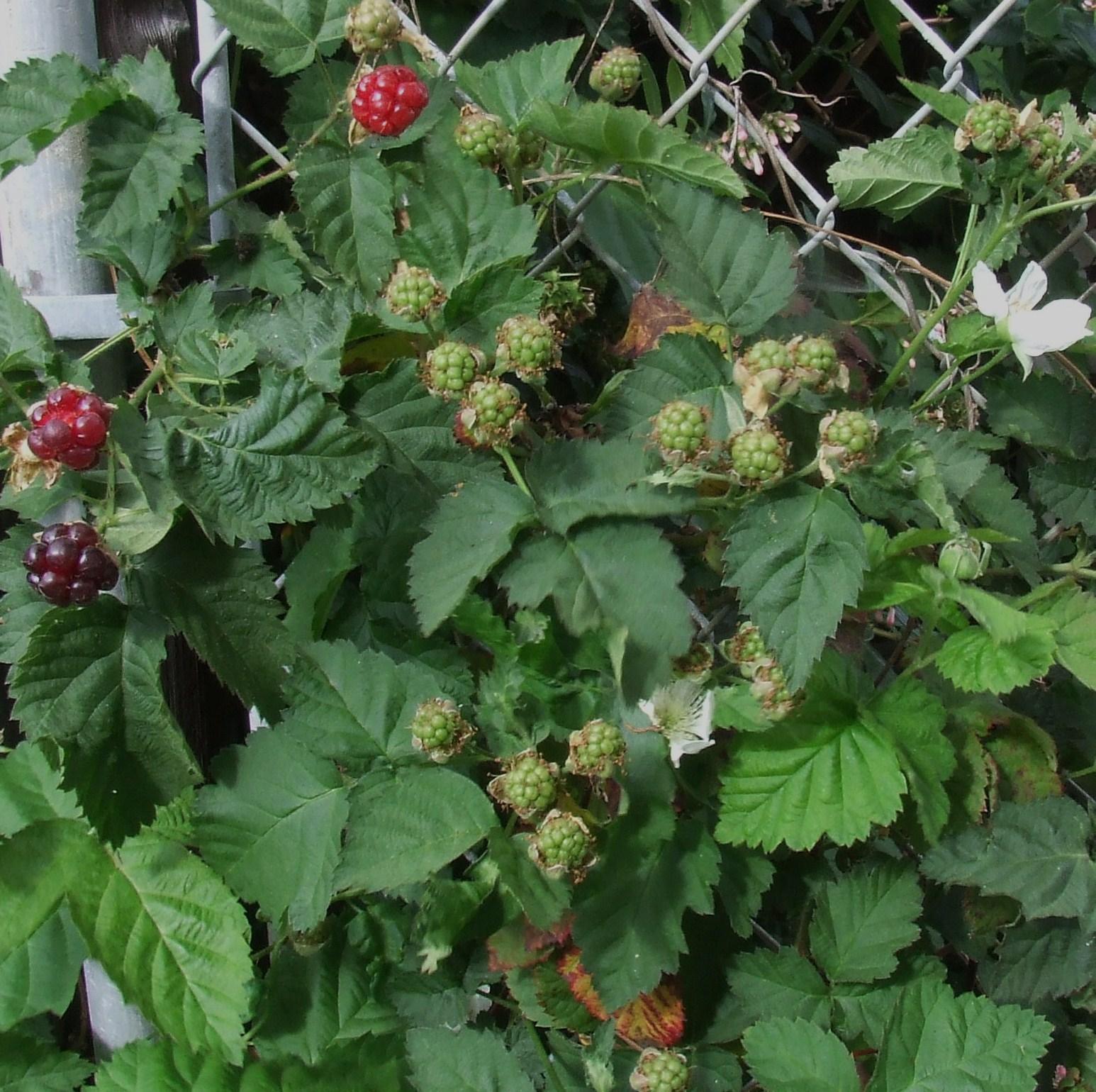 Berry Arbors: Oh, Boy! Boysenberries!