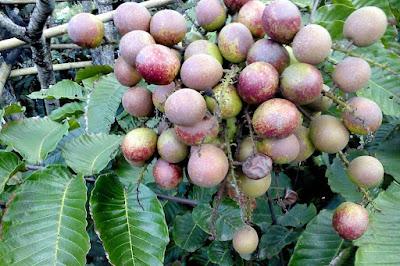 manfaat-buah-matoa-bagi-kesehatan,www.healthnote25.com