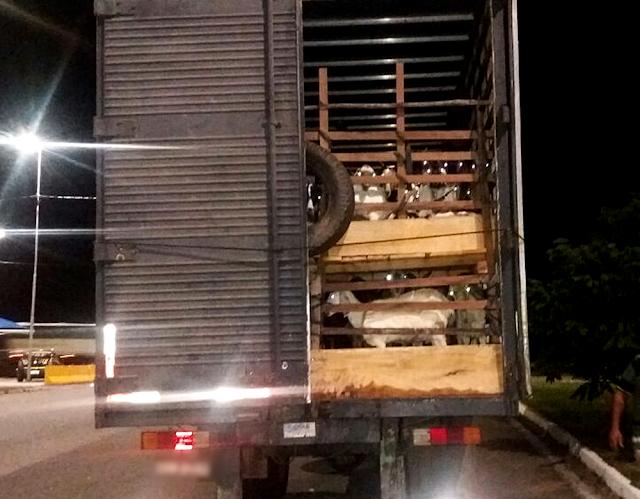 Caminhão foi parado na Fernão Dias em Perdões (MG) com 140 animais (Foto: Polícia Rodoviária Federal)
