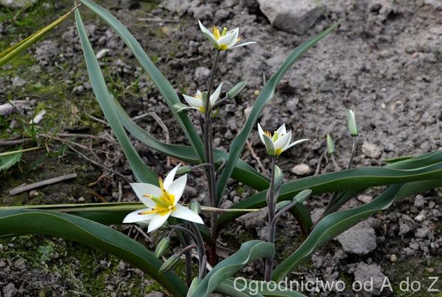 Tulipa turkiestanica
