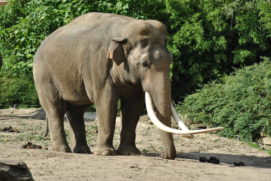 Asian Elephant | The Life of Animals