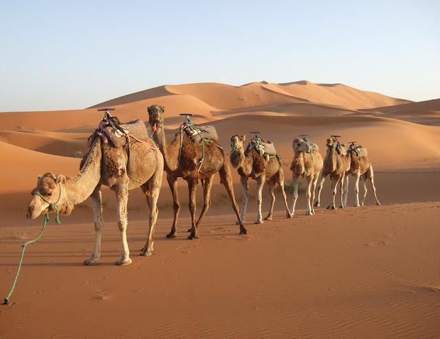 المملكة العربية السعودية تستورد الرمال والجمال من أستراليا