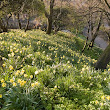 Wordsworth still makes daffodils dance for me