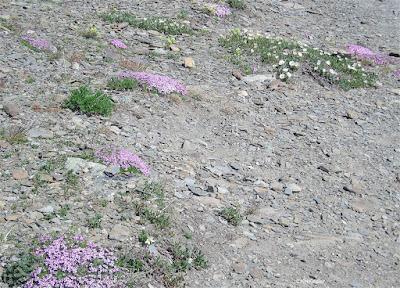 tundra near Jasper Alberta