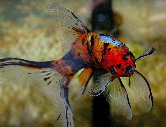 Ikan Mas Koki Shubunkin Ciri-Ciri dan Klasifikasinya