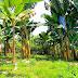 Na plantacji bananów