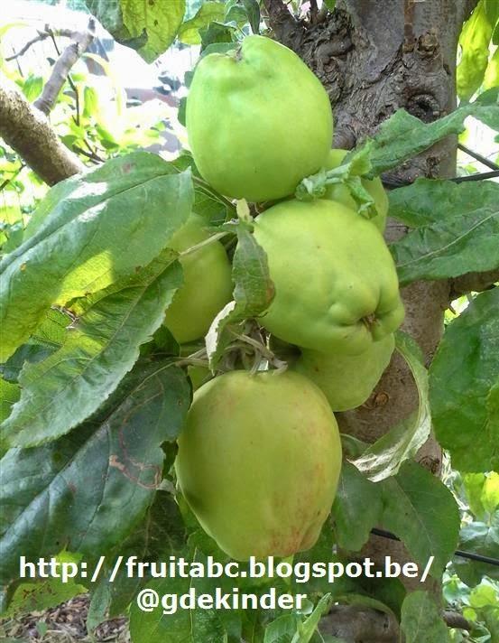 ziekte appelboom schurft afbeelding