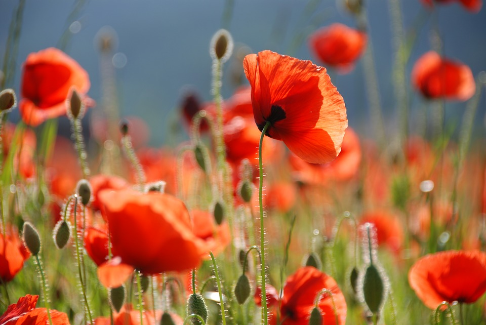 Real world gardener poppies for remembrance in talking flowers mightylinksfo
