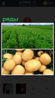 На поле ровные ряды картошки и сама собранная в корзину