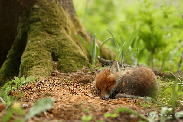 Baby Animals: Baby Fox 2