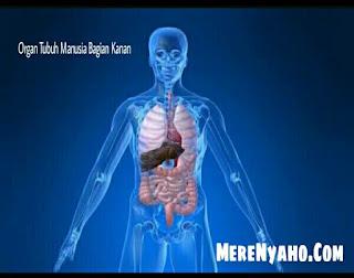 Organ Tubuh Manusia Bagian Kanan