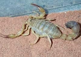 معلومه غريبه عن العقارب Scorpion
