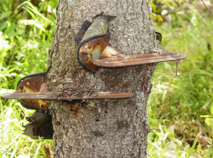 17 Pictures Of Trees That Prove The Miracle Of Life - My Grandpa Hung His Skates On A Small Tree When He Was Younger. He Forgot He Had Left Them There And Found Them Years Later