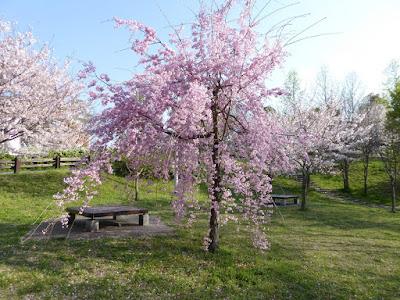 寝屋川公園 やすらぎ広場の枝垂桜