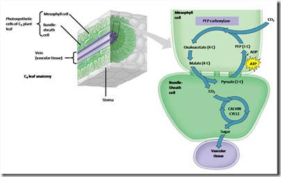 Perbedaan Tanaman C4 dan CAM Crassulacean acid metabolism
